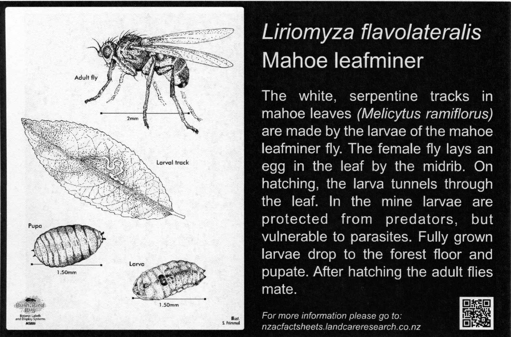 Mahoe leaf miner, Liriomyza flavolateralis