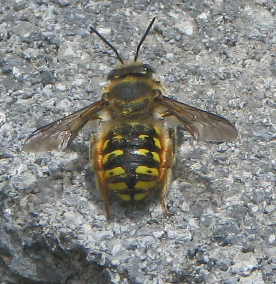 Wool-carder bee, Anthidium manicatum